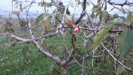 dicembre spuntano le ciliegie