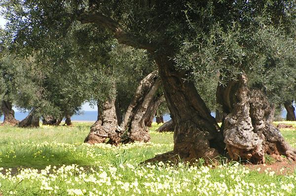 Azione anti xylella 200mila piante acquistate in salento for Acquisto piante ulivo