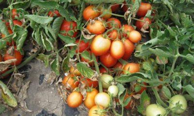 crisi del pomodoro