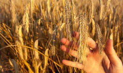 crisi grano duro puglia