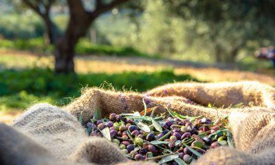raccolta delle olive puglia